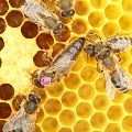 včelí matka
