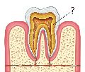 zubovina